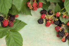 Blackberries on a branch. Summer blackberries. Ripe and unripe blackberries on the branch. The composition on a green background Stock Photos