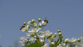 Blackberries buds. Small white buds of blackberries and two bees collect nectar flying blue sky background stock footage
