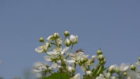 Blackberries buds stock footage
