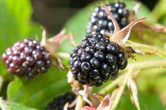 Blackberries bunch Stock Images