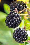 Blackberries bunch Stock Photo
