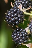 Blackberries bunch Stock Image