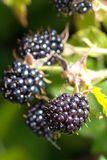 Blackberries bunch Royalty Free Stock Photo