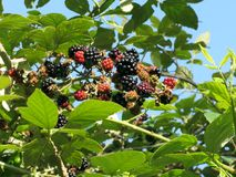 Blackberries bunch Stock Photography