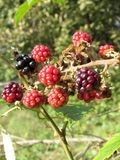Blackberries bunch Royalty Free Stock Photography