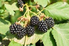 Blackberries on the bush Stock Photos