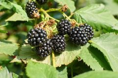 Blackberries on the bush Stock Photography