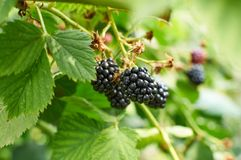 Blackberries on the bush Royalty Free Stock Photo