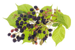 Blackberries bush concept Stock Photography