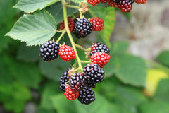 Blackberries on the bush Royalty Free Stock Images
