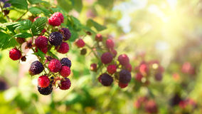 Blackberries bush. Homegrown produce concept royalty free stock image