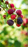 Blackberries bush. Homegrown produce concept stock photo