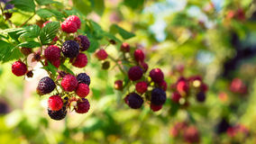 Blackberries bush Royalty Free Stock Photo