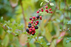 Blackberries on bush Royalty Free Stock Photos
