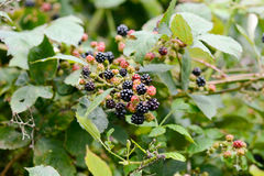 Blackberries on bush Stock Photography