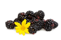 Blackberries And Capedaisy royalty free stock images