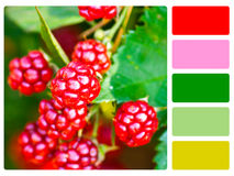 Blackberries colour palette swatch stock photo