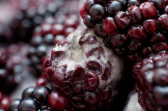 blackberries covered in white fungus and decaying Royalty Free Stock Photography