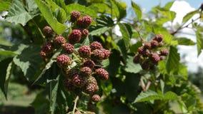 Blackberries Dancing  In  The Wind. Fresh blackberries waving at wind - close up stock video