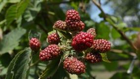 Blackberries Dancing  In  The Wind. Fresh unripe blackberries in the garden stock footage