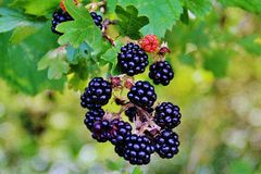 BLACKBERRIES. Delicious fruit to pick on stems and creeping prickly brambles. Used in liquor, jam or plain Royalty Free Stock Photo