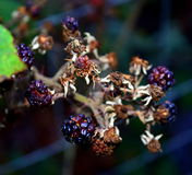 Blackberries dying Royalty Free Stock Photos