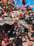 Black berries. Blackberries elders with colorful aun leaves during the daylight with sun rays stock images