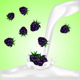 Blackberries falling into the milky splash Royalty Free Stock Photo