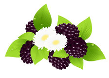 Blackberries and flower. Illustration, AI file included Stock Image