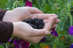 Blackberries and flowers Stock Photography
