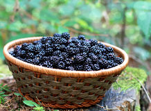 Blackberries from the forest. Organic blackberries from the forest Royalty Free Stock Photos