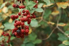 Blackberries bunch in the forest Stock Photography