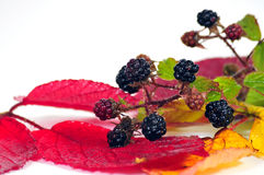 Blackberries fruits Royalty Free Stock Images