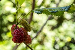 Blackberries on garden Stock Images