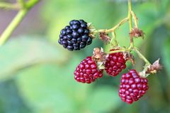 Blackberries in the garden Royalty Free Stock Images