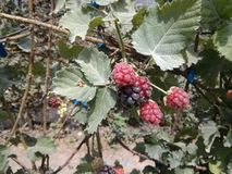Blackberries getting ready for gather. Blackberries red black tasty royalty free stock photography