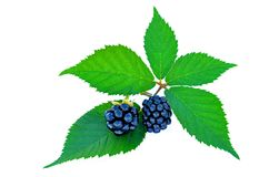 Blackberries with green leaves Royalty Free Stock Photos