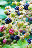 Blackberries. Growing in an English Garden royalty free stock photography