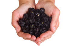 Blackberries in hands Stock Photo