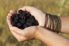 Blackberries in the hands. Appetizing blackberries in delicate female hands Royalty Free Stock Image