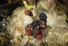 Blackberries hanging over running water. Royalty Free Stock Images