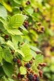 Blackberries harvest Stock Photo