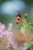 Blackberries and heather Stock Photography