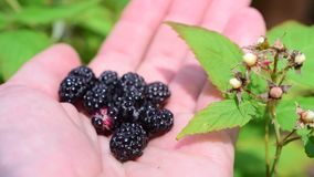 Blackberries on human hand