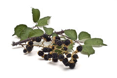Blackberries I Royalty Free Stock Photography