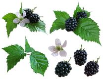 Blackberries_isolated Photos libres de droits