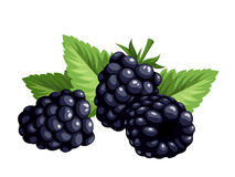 Blackberries isolated on a white background. Vector illustration. Royalty Free Stock Images