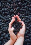 Blackberries. Just the collected fresh juicy blackberries Stock Photography