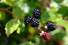 Blackberries on the leaf Stock Photos