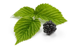 Blackberries and leaves of raspberry on white background.  Royalty Free Stock Photos